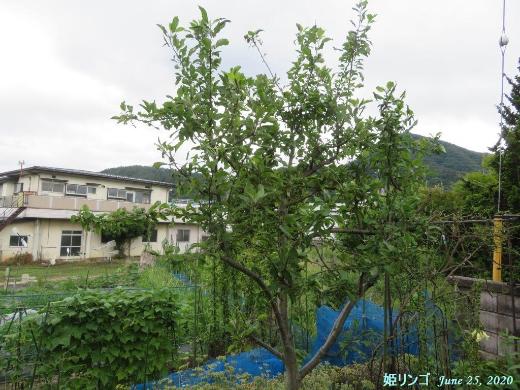 画像7(姫リンゴ刈り込み前)