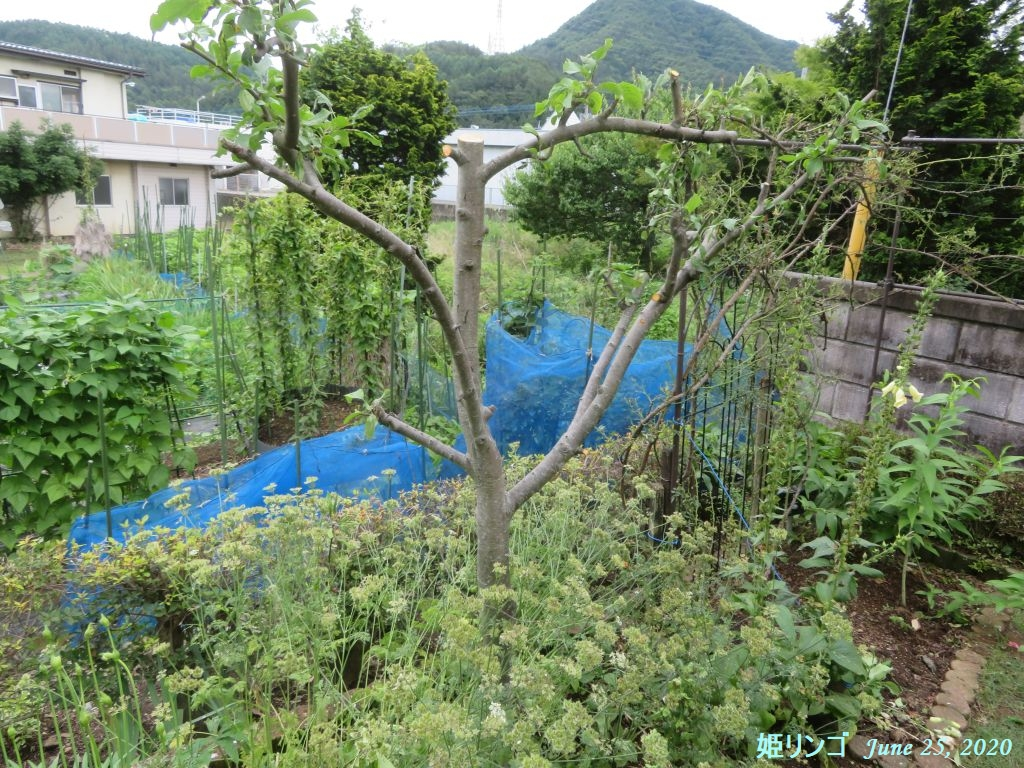 画像8(姫リンゴ刈り込み後)