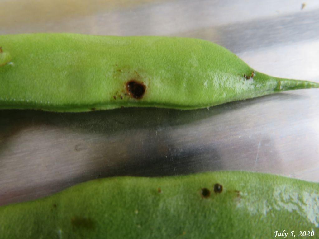 画像8(虫に入られたインゲン)