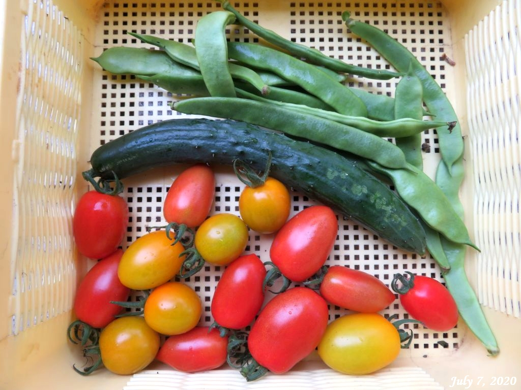 画像5(本日の収穫野菜)