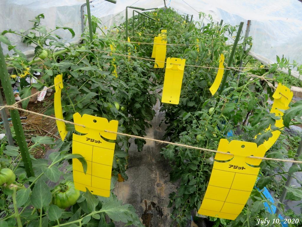 画像12(粘着シートを吊したトマト棚)