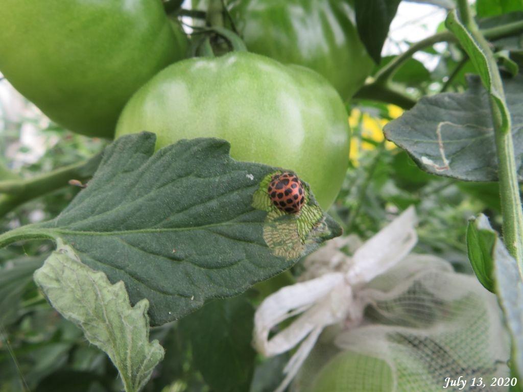 画像6(トマトの葉のニジュウヤホシテントウ)