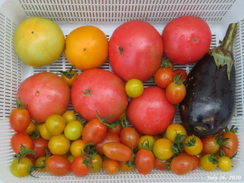 画像9(収穫したトマト)