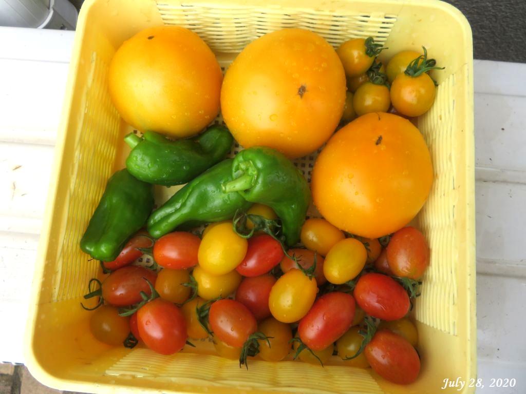 画像11(収穫したトマトとピーマン)