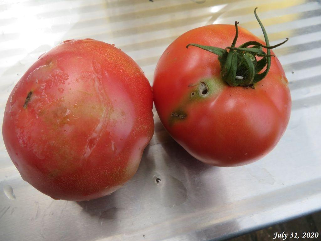 画像10(虫食いのトマト)