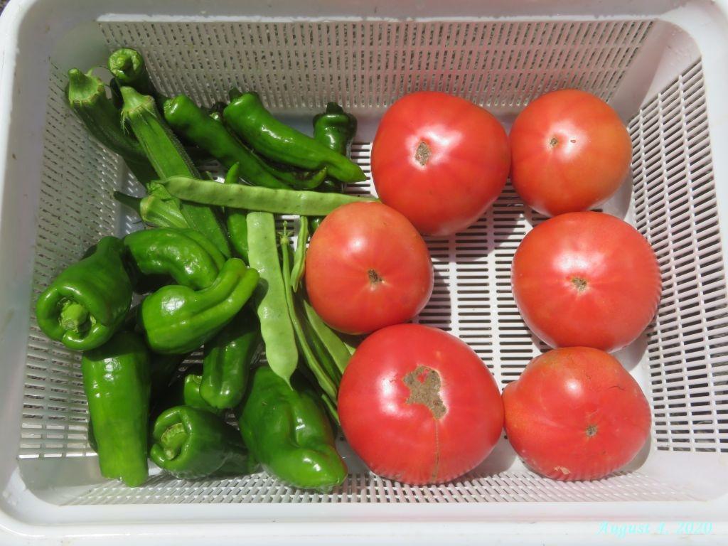 画像10(収穫した大玉トマト)