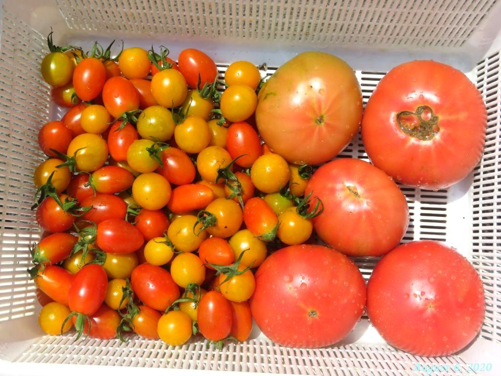 画像12(収穫したトマト)