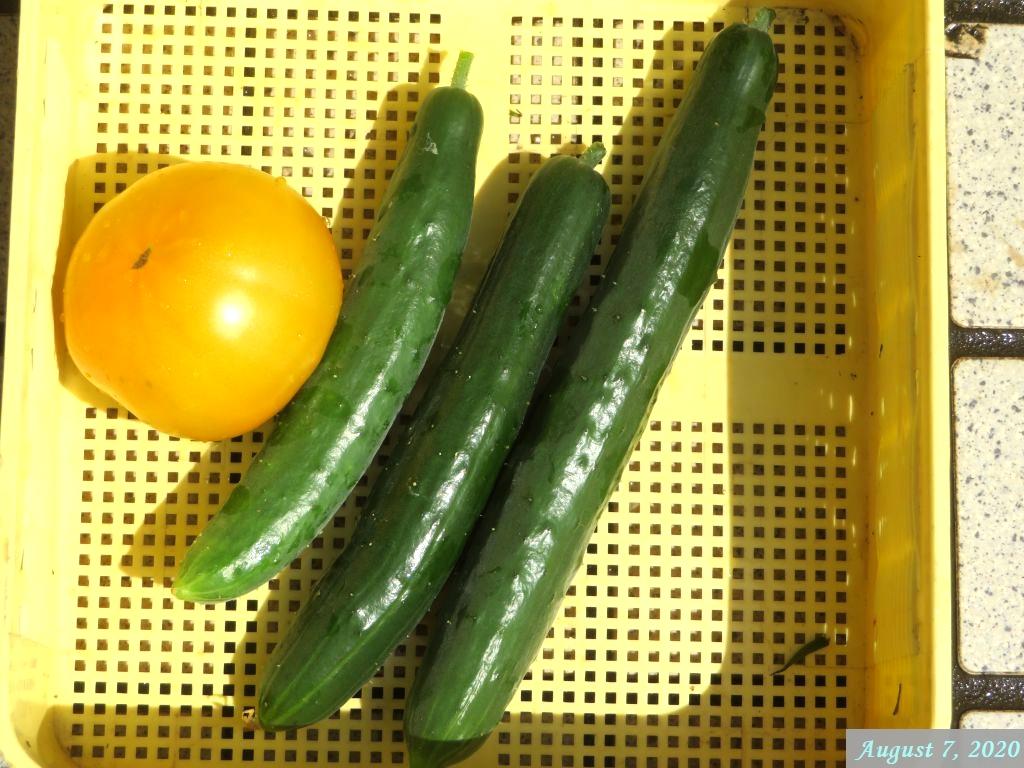 画像4(収穫したキュウリとトマト)