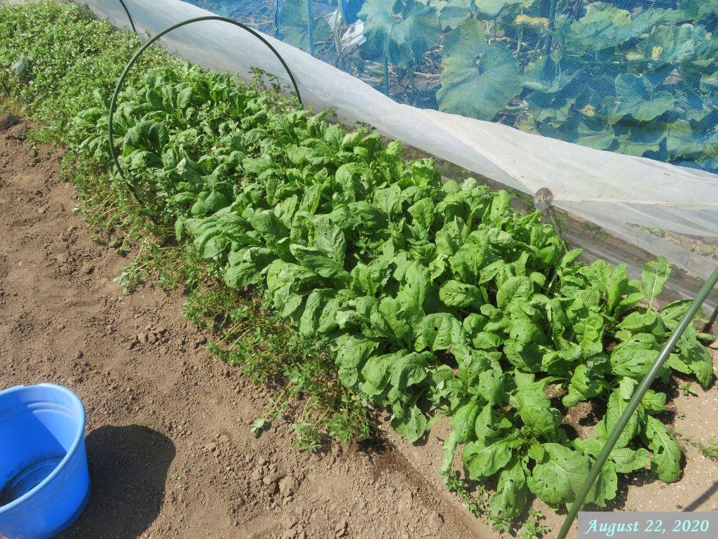 画像12(小松菜とスベリヒユの畝?)