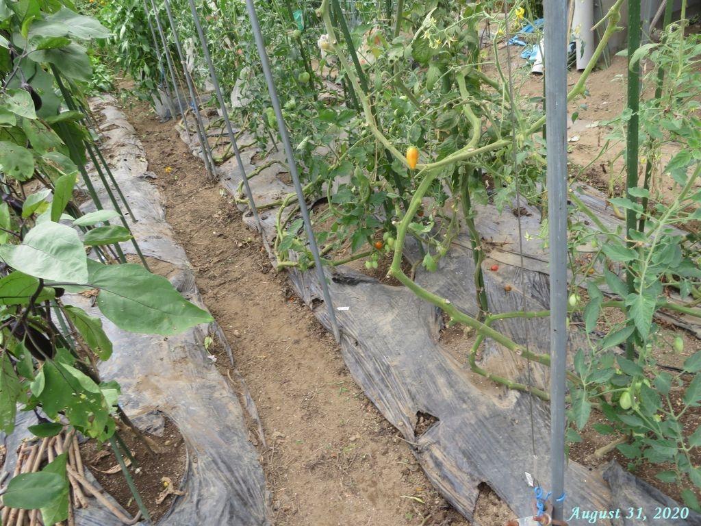 画像13(トマトの畝周り)