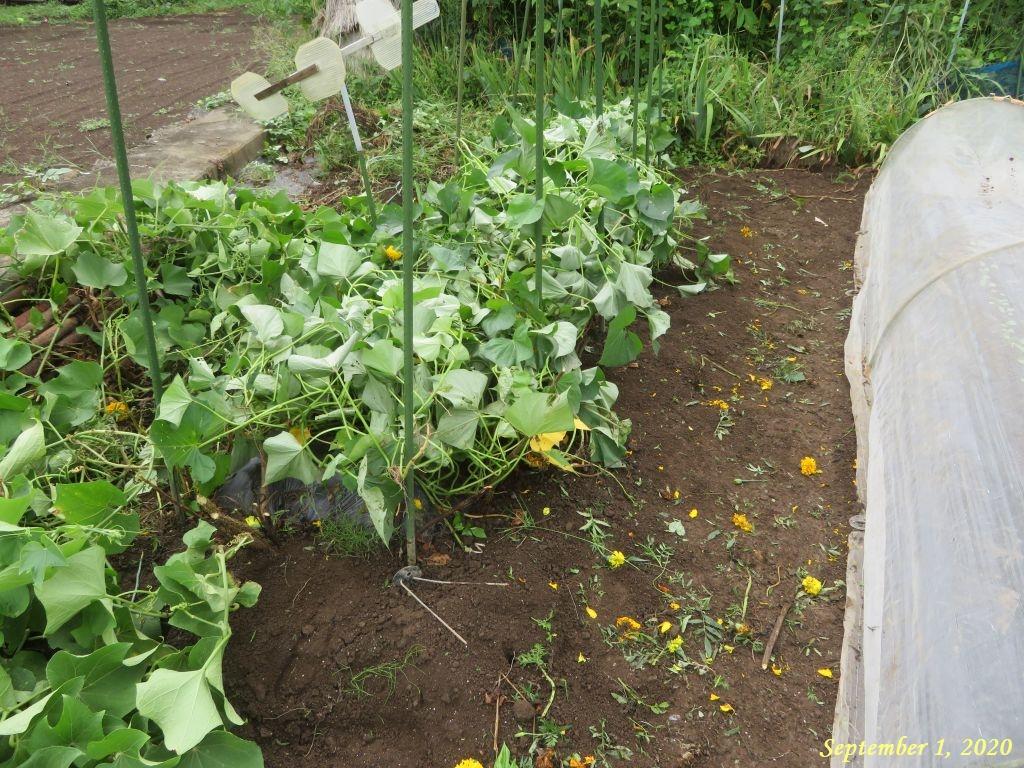 画像14(サツマイモの畝)