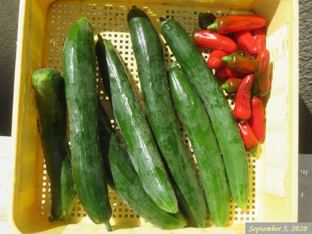 画像14(収穫野菜)