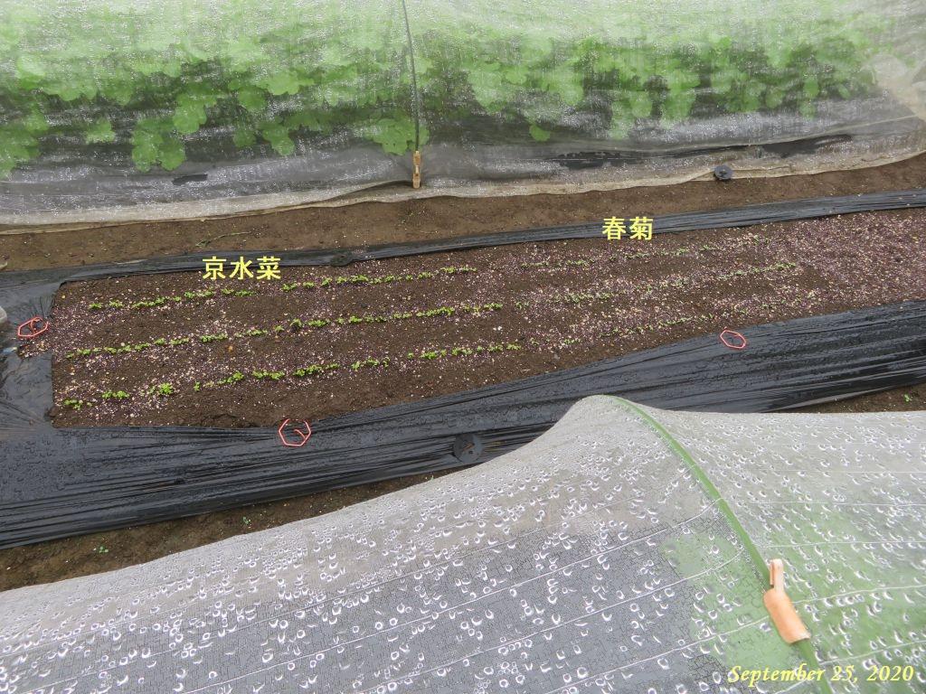 画像2(京水菜と春菊)
