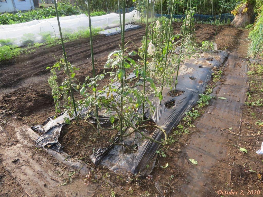 画像2(トマトの畝)