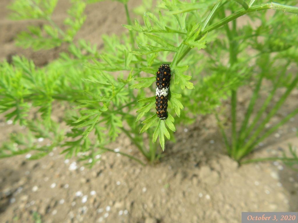 画像2(黒アゲハの幼虫)