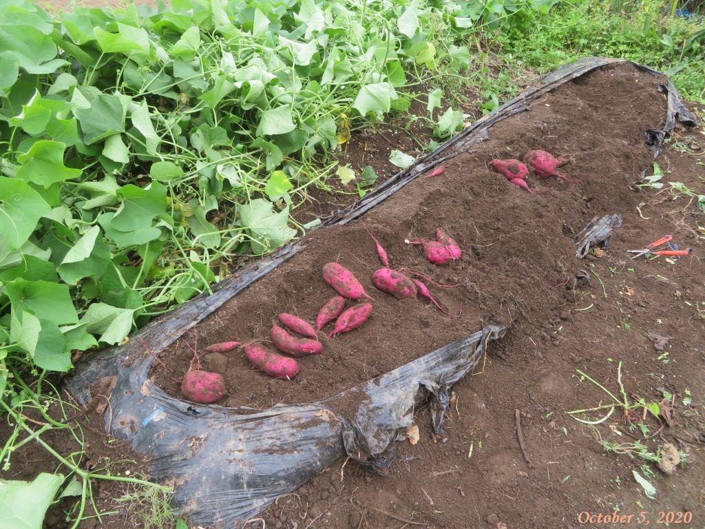 画像6(サツマイモの掘り出し)