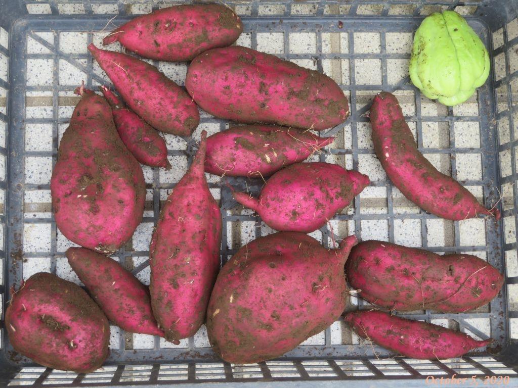 画像7(収穫したサツマイモ)
