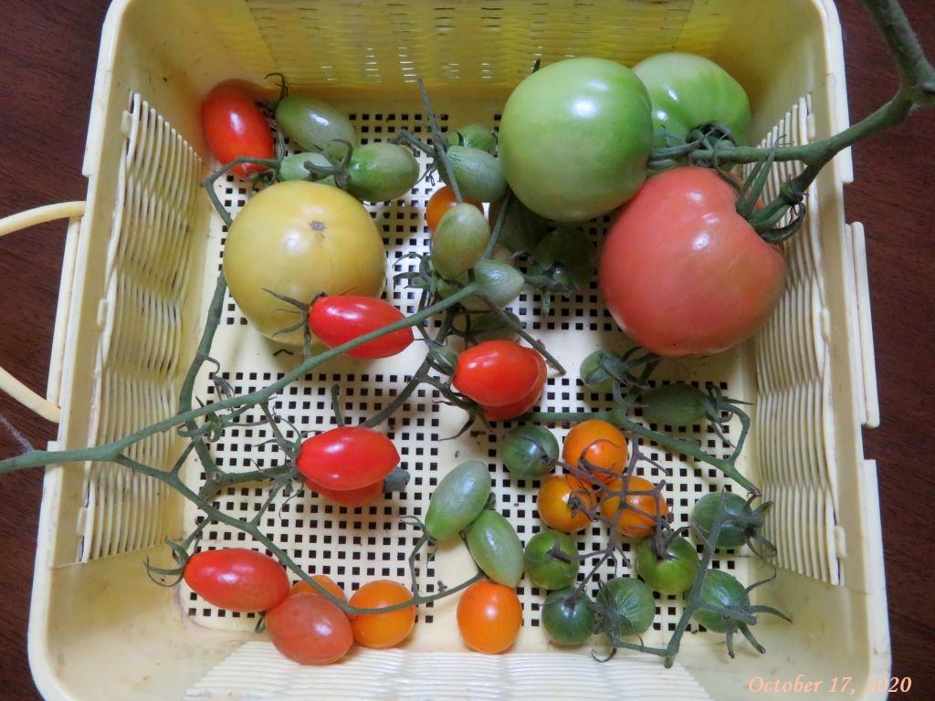 画像5(未熟のトマト)