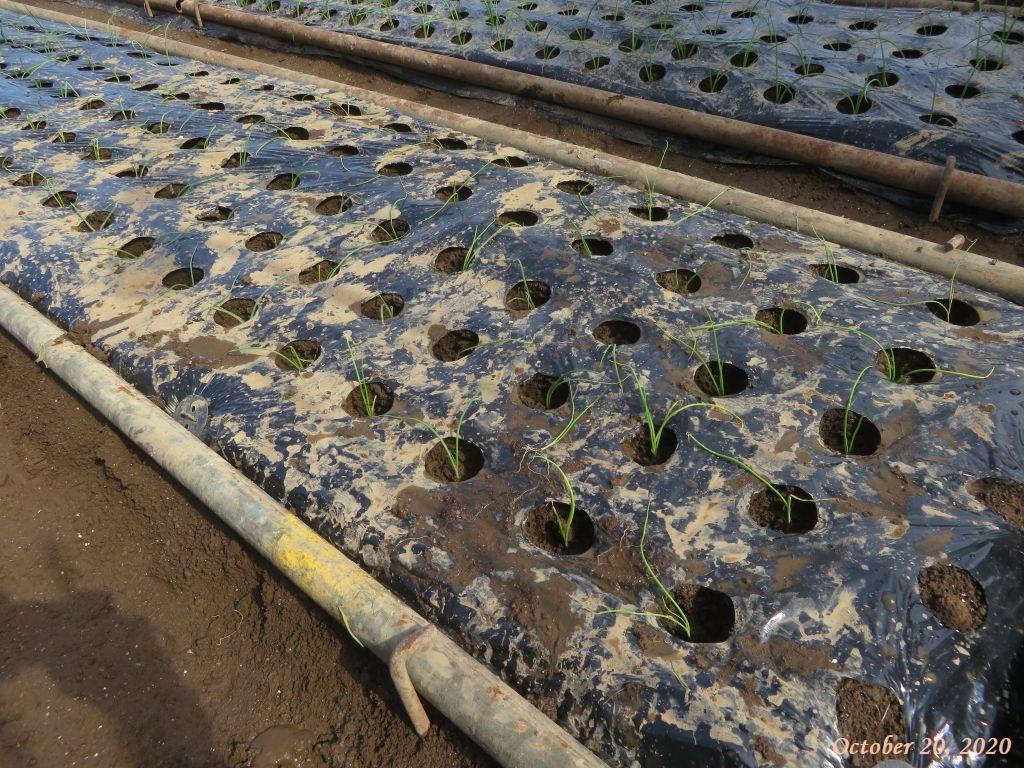 画像9(植え付け後の玉ねぎの畝)