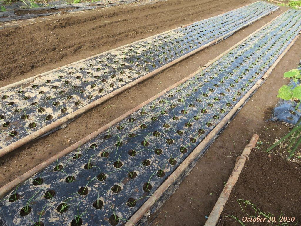 画像10(植え付け後の玉ねぎの畝)