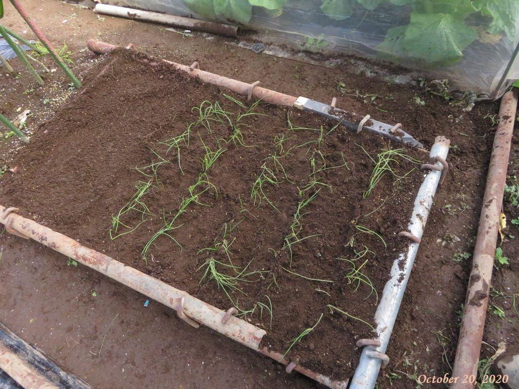 画像11(植え付け後の玉ねぎの苗床)