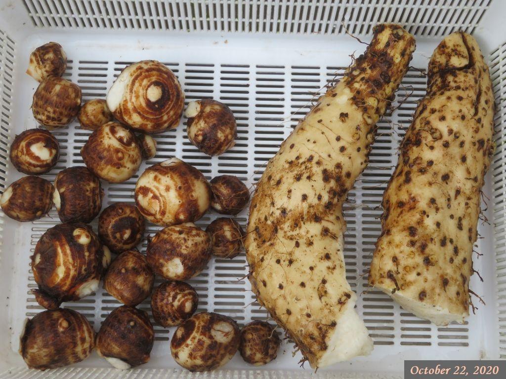画像7(山芋とサトイモ)