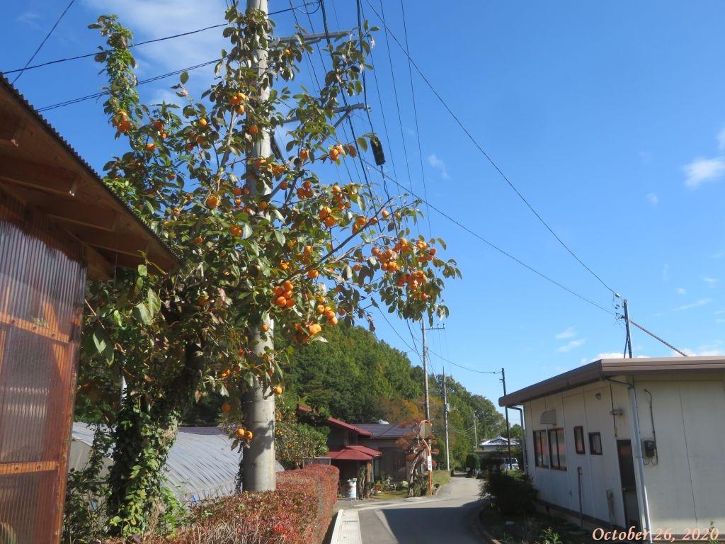 画像15(柿の木)