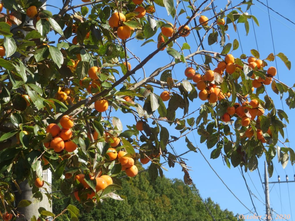 画像16(柿の木)