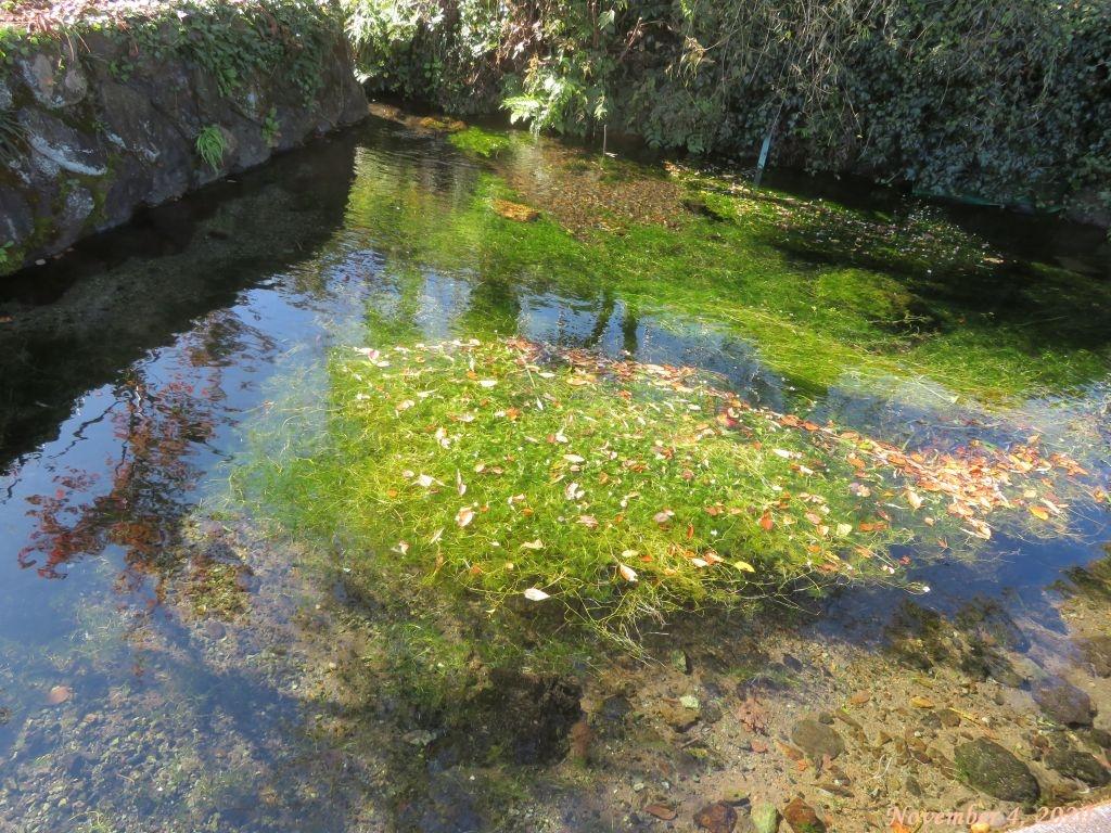 画像9(湧き水とバイカモ)