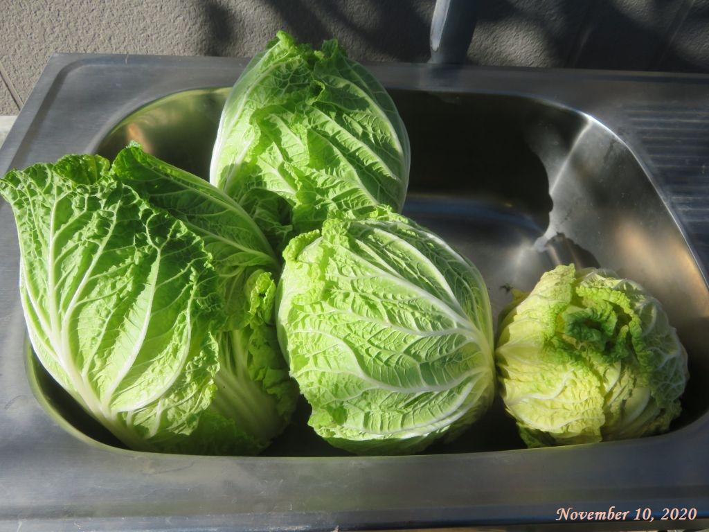 画像5(収穫した白菜)