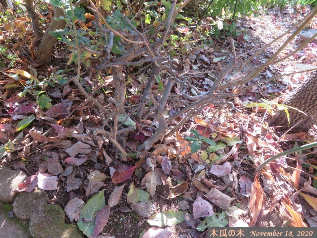 画像8(木瓜の木)