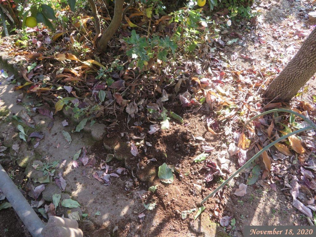 画像9(木瓜の木の伐採後)