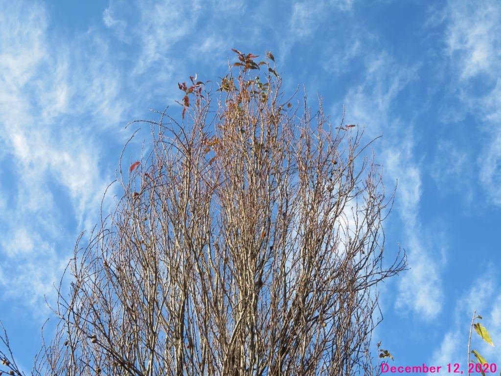 画像4(ハナモモの枯れ木)