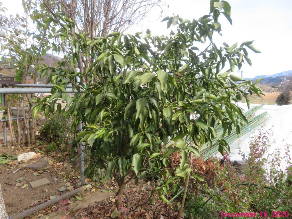 画像5(柚子の木)