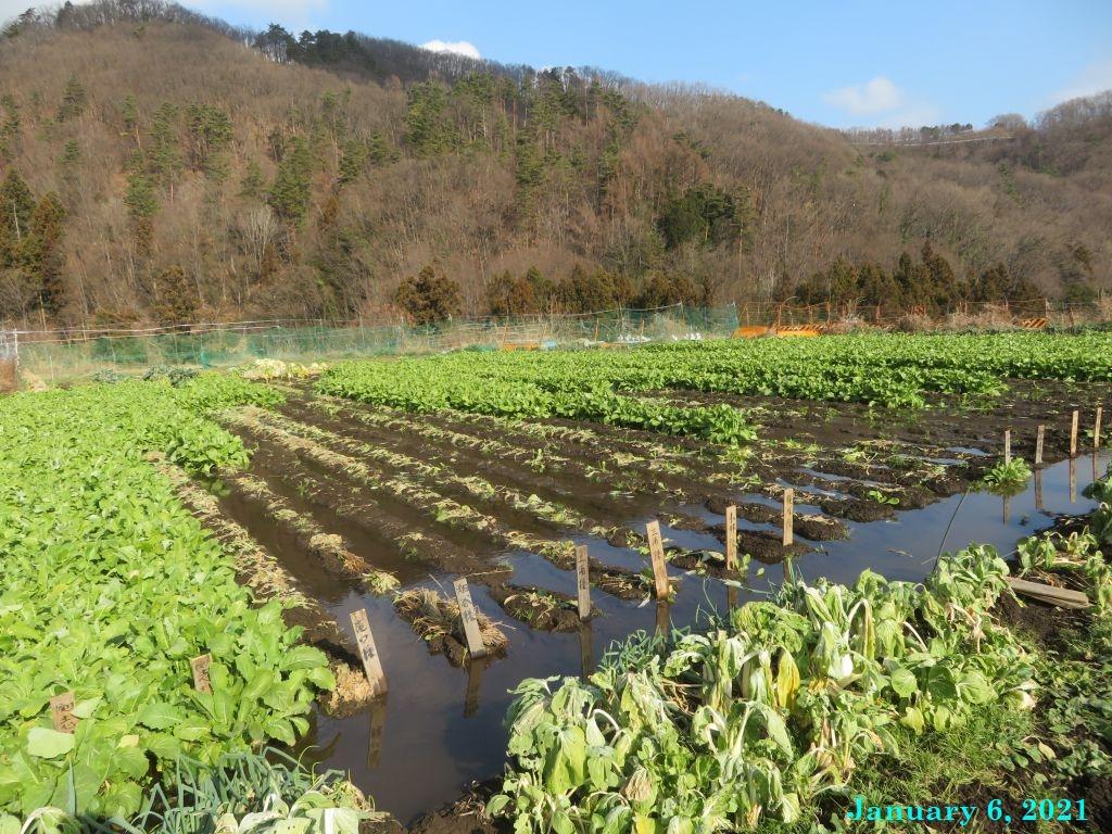 画像1(水掛け菜の畑)