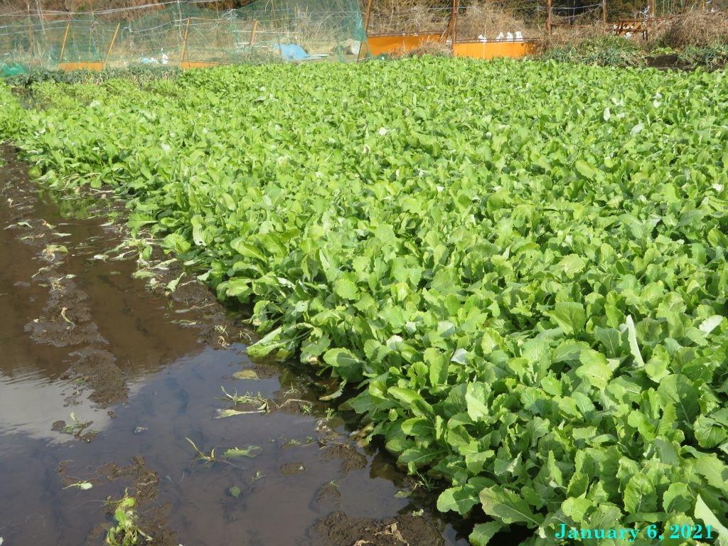 画像2(水掛け菜の畑)