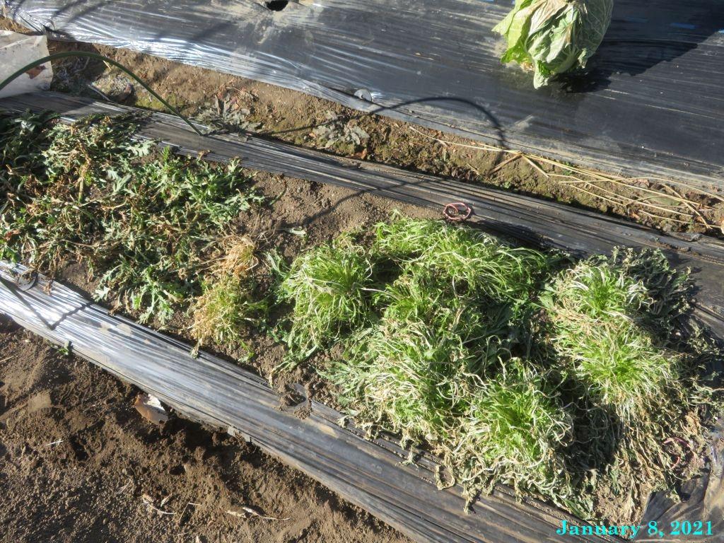 画像3(寒さにやられた春菊と京水菜)