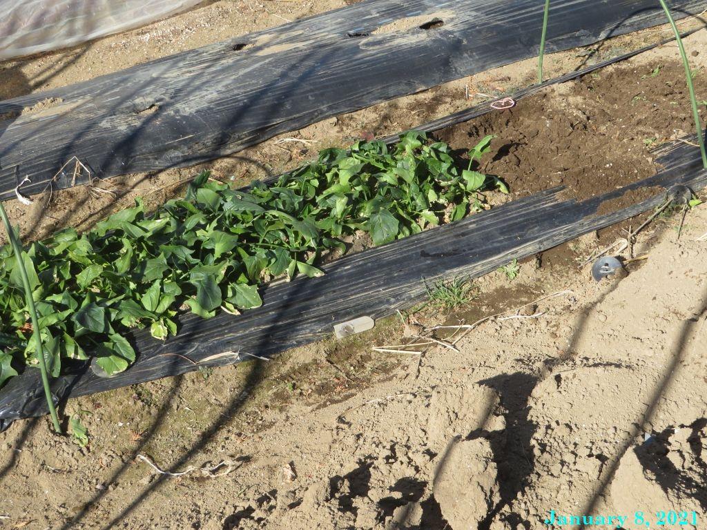 画像4(春菊と京水菜を除去)