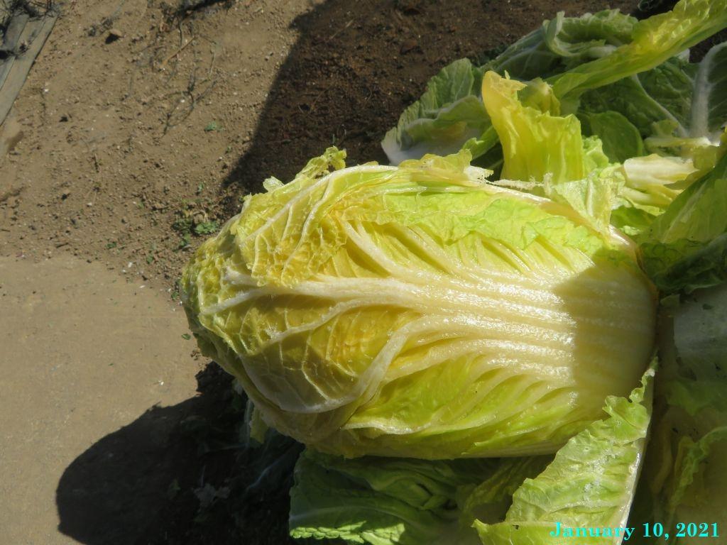 画像4(白菜)