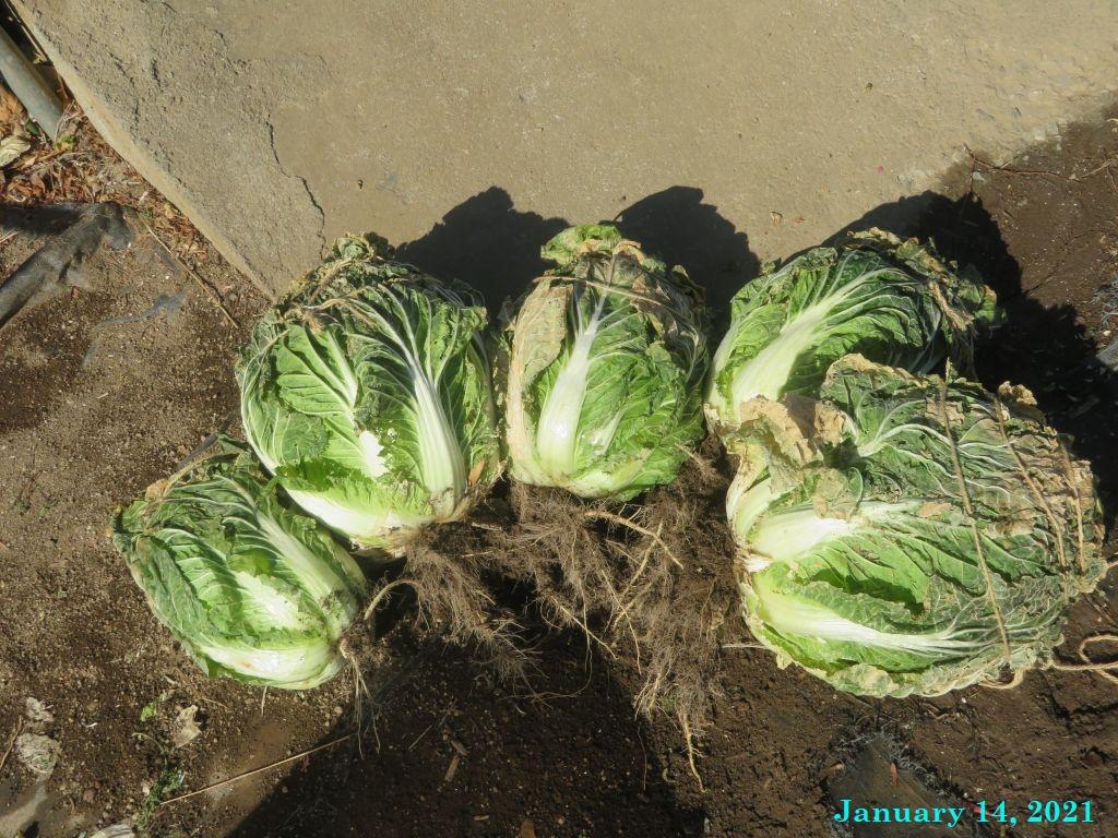 画像6(収穫した白菜)