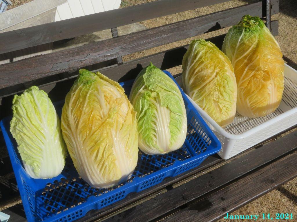 画像8(天日干しの白菜)