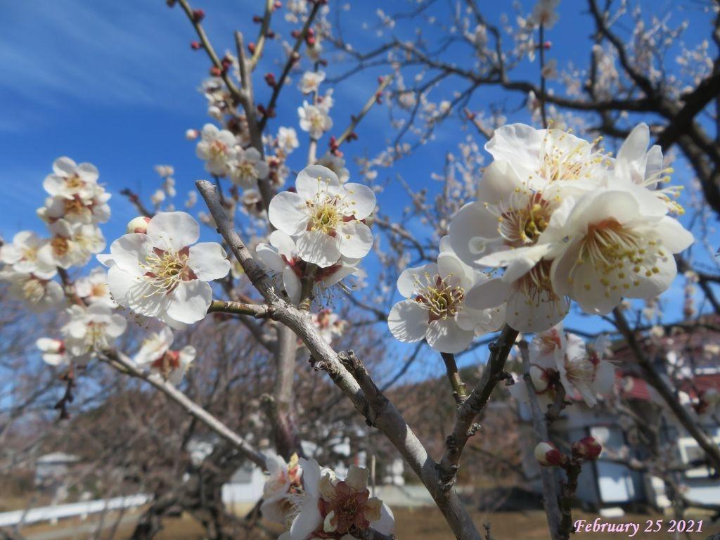 画像9(梅の花)