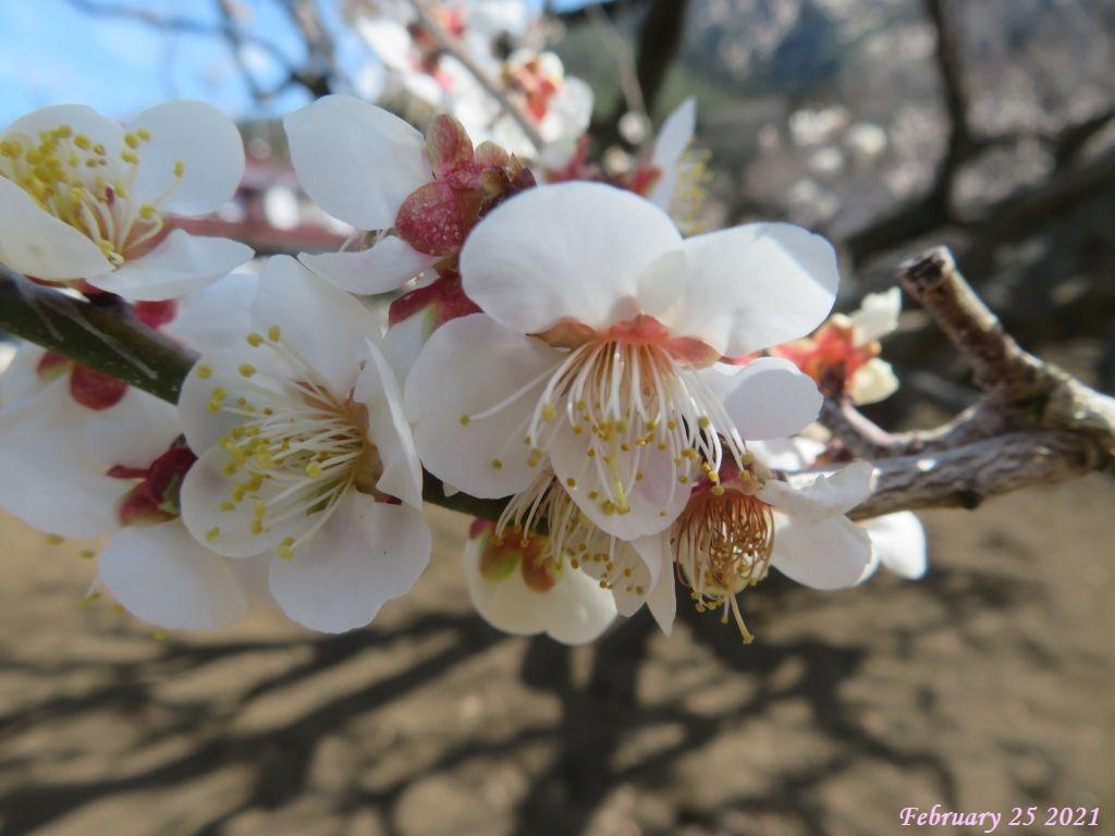 画像10(梅の花)