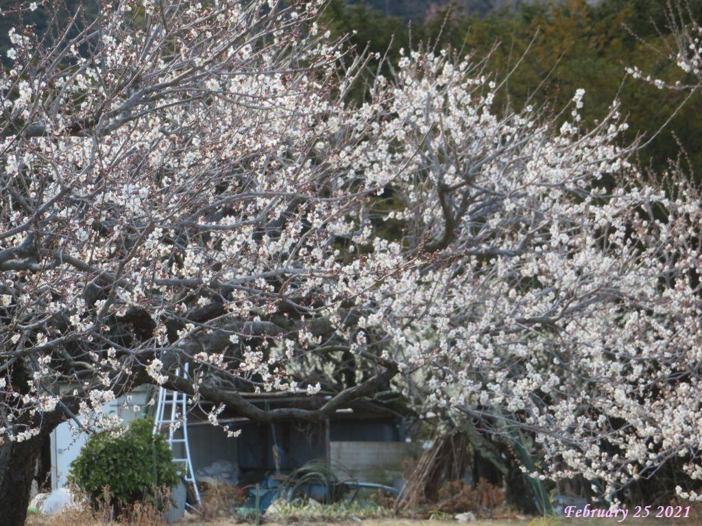 画像11(梅の花)
