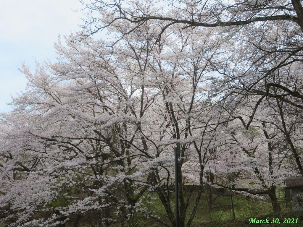 画像1(楽山公園の桜)