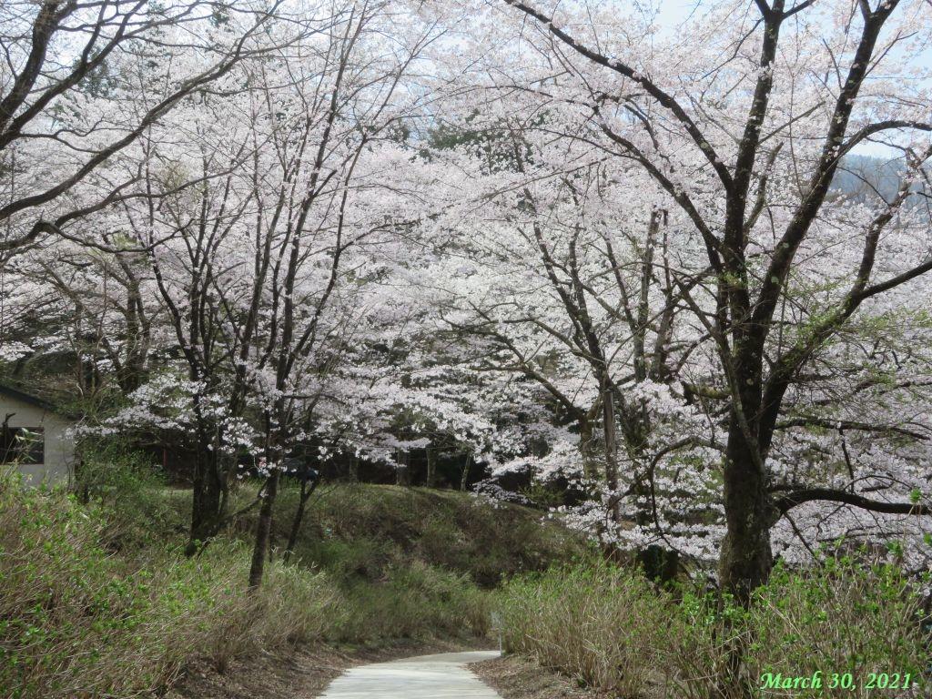画像2(楽山公園の桜)