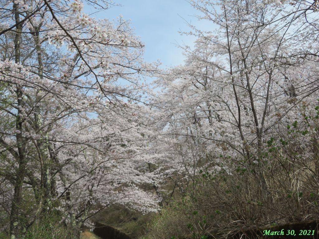 画像3(楽山公園の桜)