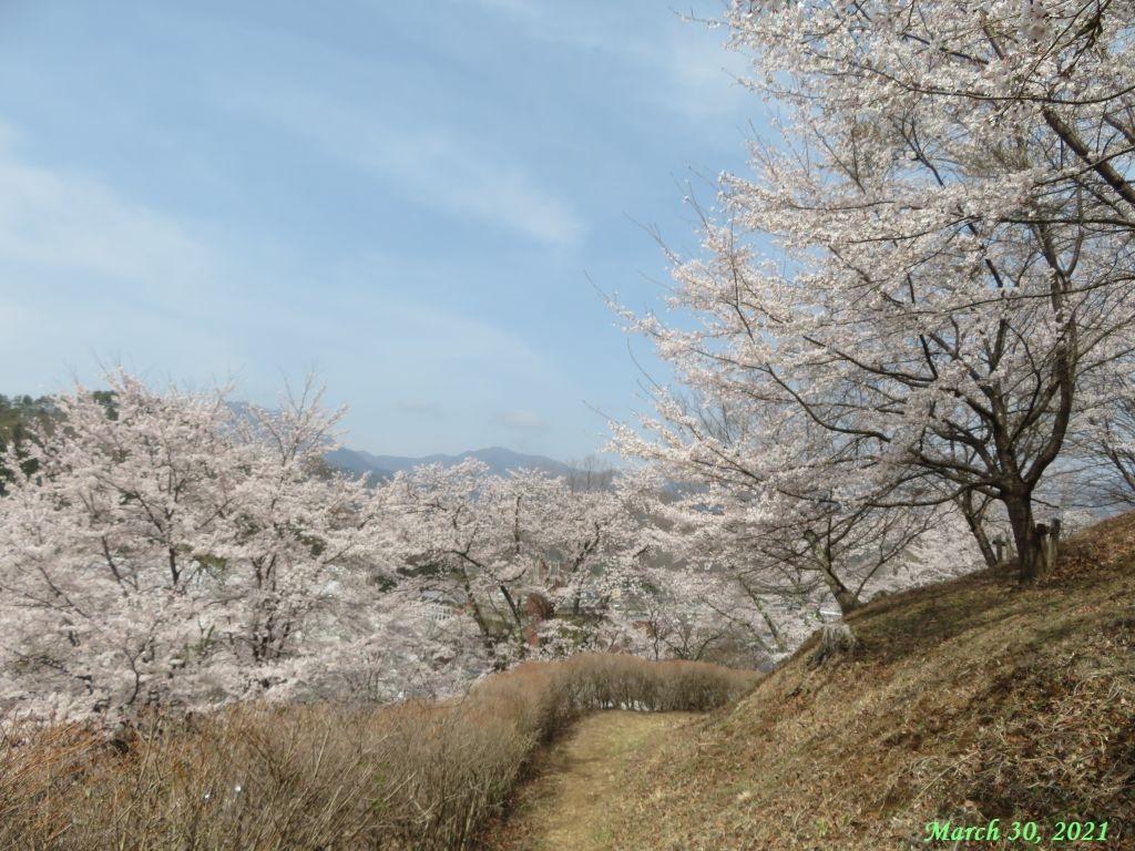 画像4(楽山公園の桜)