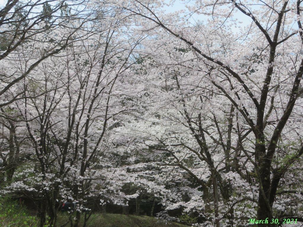 画像7(楽山公園の桜)