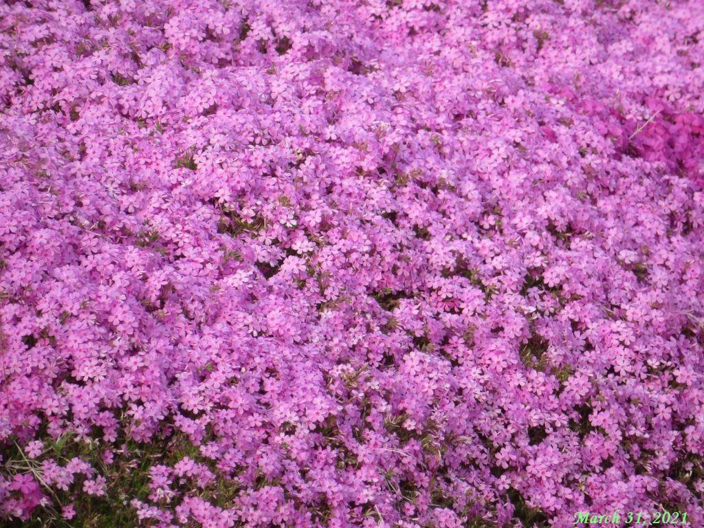 画像8(芝桜)